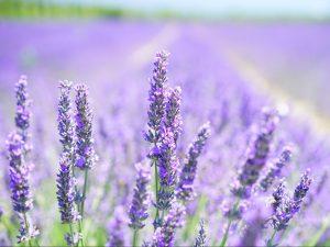 Lavendelöl als Duft